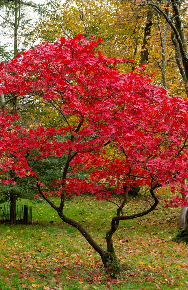 Healthy japanese maple trees require proper sun and fertilization