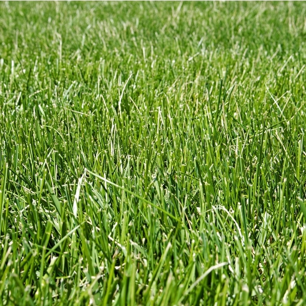 Healthy blades of grass growing robustly from proper sun and water