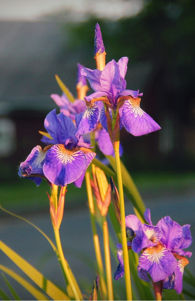 Healthy siberian iris flowers require proper nutrients and water