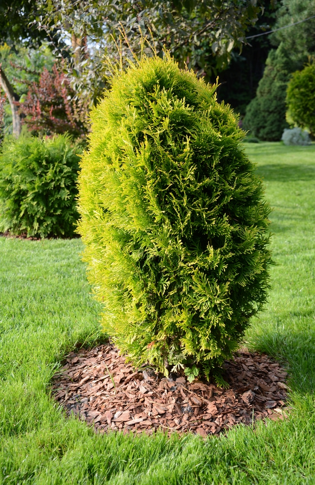 Healthy thuja requires plant food