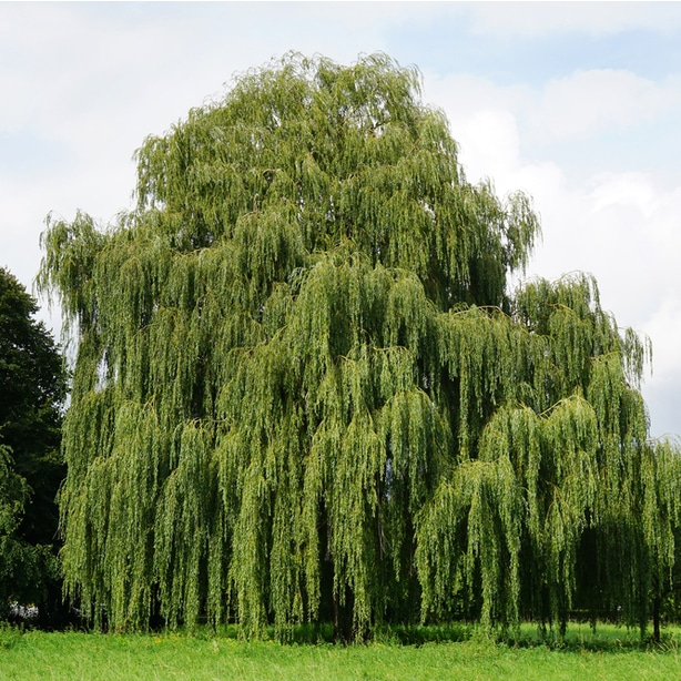 Healthy weeping willow that is growing beautifully