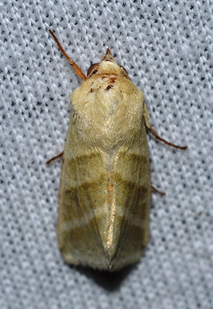 Adult moth of the heliothis virescens