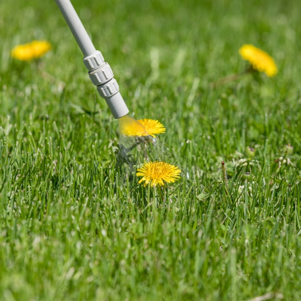 Herbicide can be used to spray on dandelions to kill it.