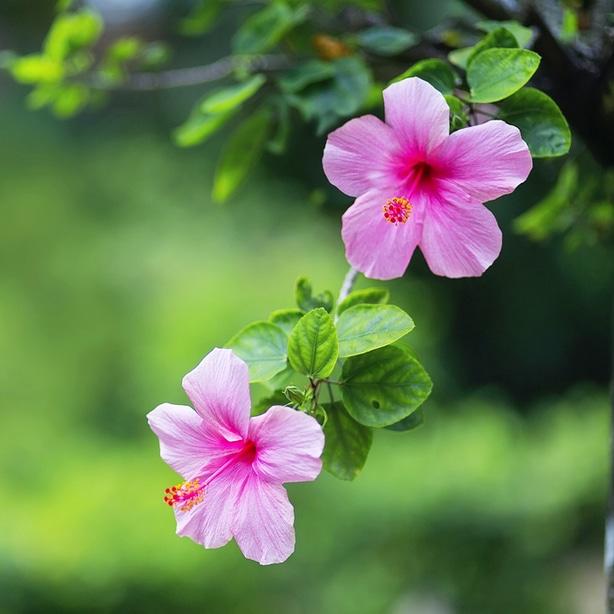 Pink hibiscus flowers receiving the proper maintenance
