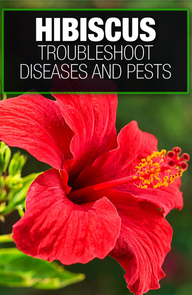 Hibiscus plants need to be troubleshooted for diseases and pests
