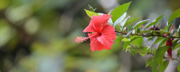 Hibiscus Diseases and Pests