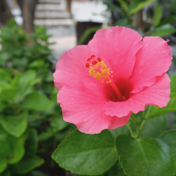Raising a pink hibiscus in the garden isn't difficult with our grow guide.