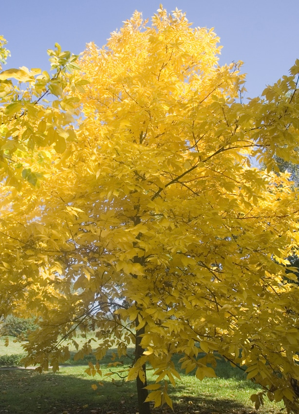 Hickory tree growing optimally in the fall