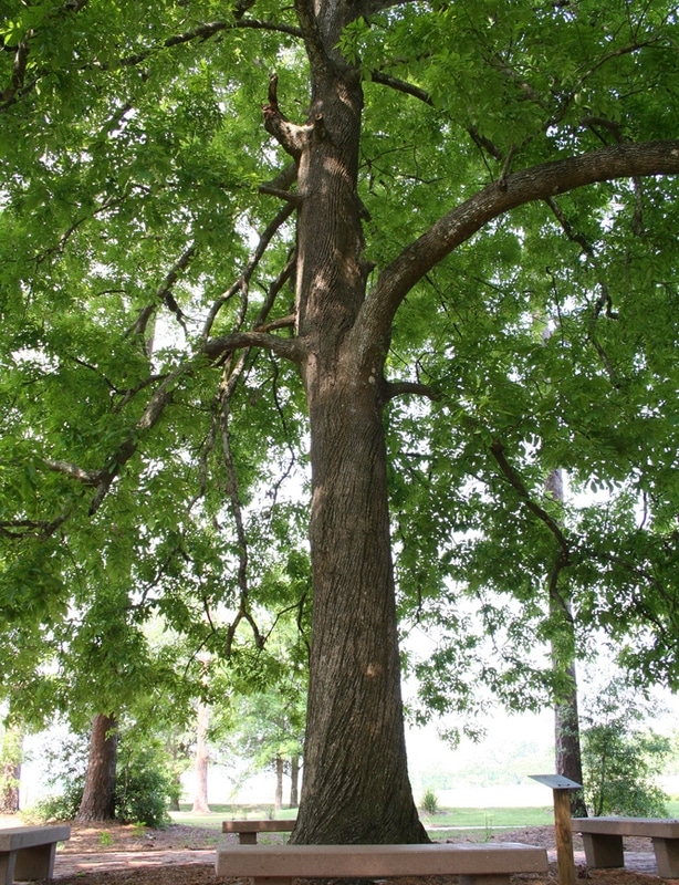 Hickory tree growing strong in a park.