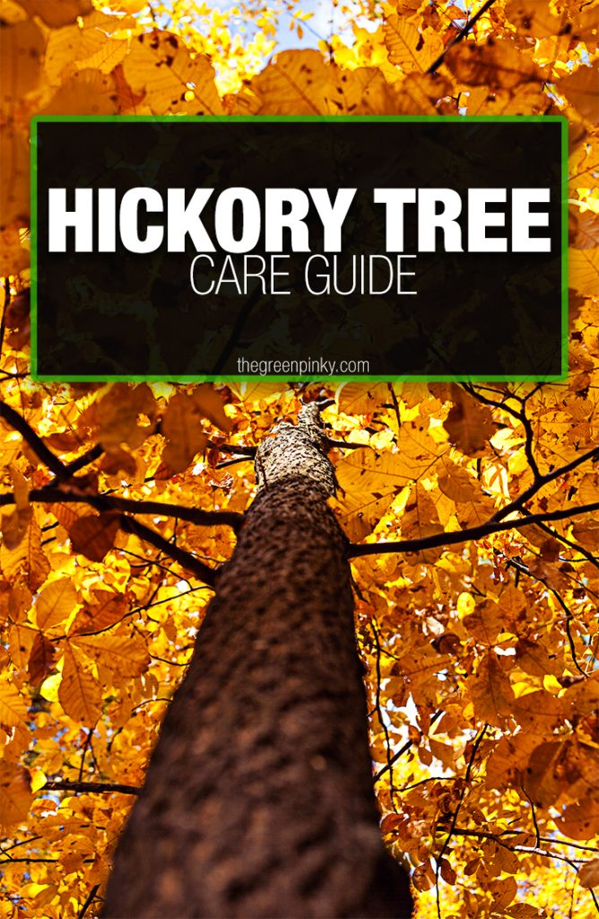 Proper care of a hickory tree requires information from a maintenance guide.