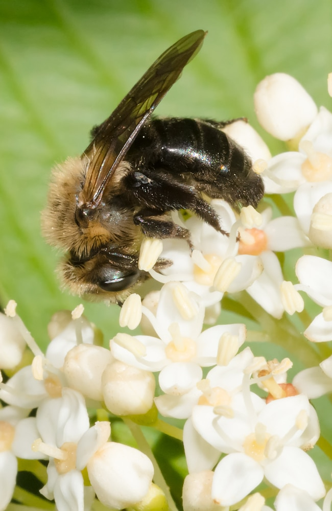 Mining bees don't make honey, but they can help pollinate