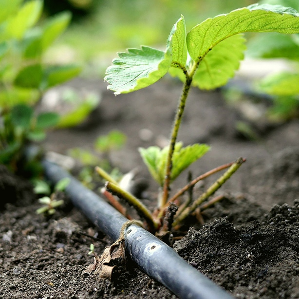 Soaker hose next to planted strawberries is important for ongoing care.