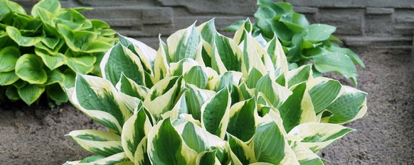 Different types of hostas to consider in a garden