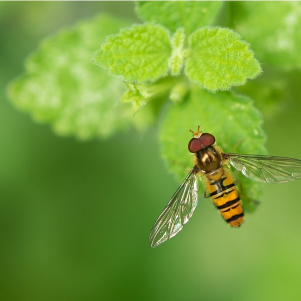 They eat hundreds of aphids and thrips, thus defending your garden.