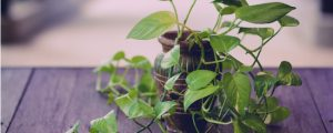 A devil's ivy plant being kept as a houseplant on a table