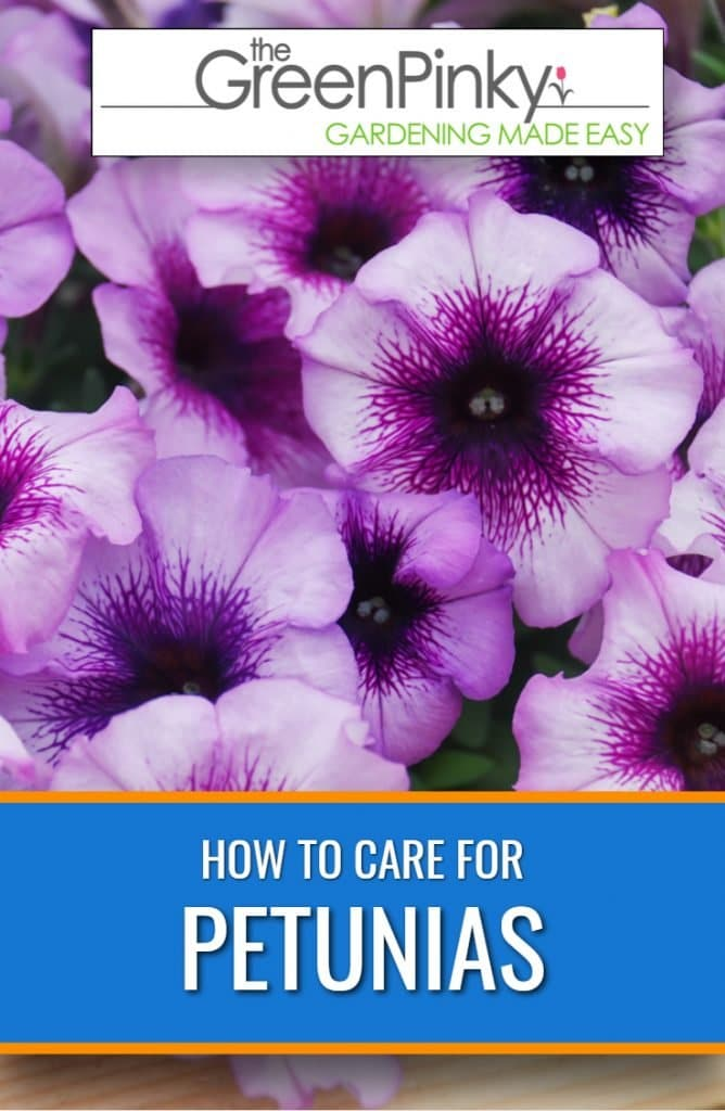 Petunias require maintenance and pruning through a guide.