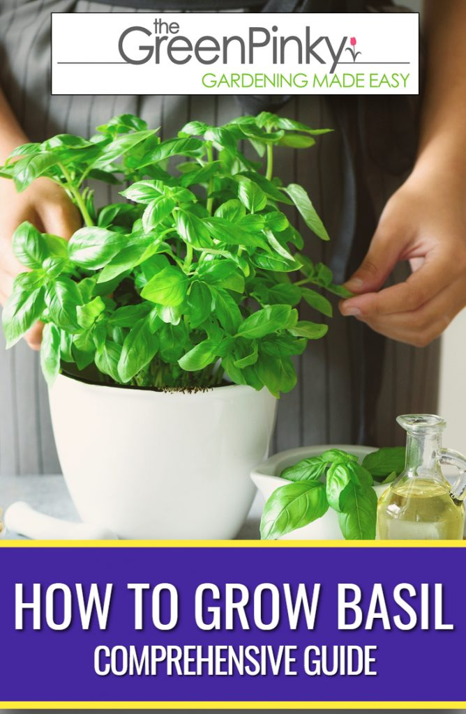 Basil growing in a container indoors with proper care