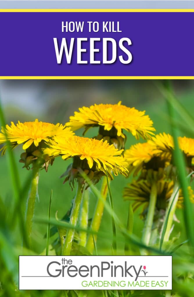 An overview picture of how to kill weed. In the picture itself are 4 bright yellow dandelion flowers