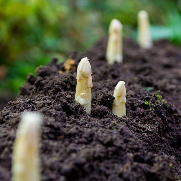 Immature asparagus are emerging from the ground.