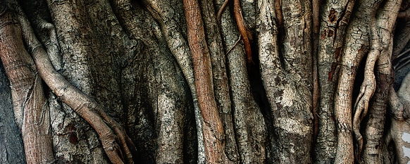 Indian Laurel Fig - Everything You Need to Know