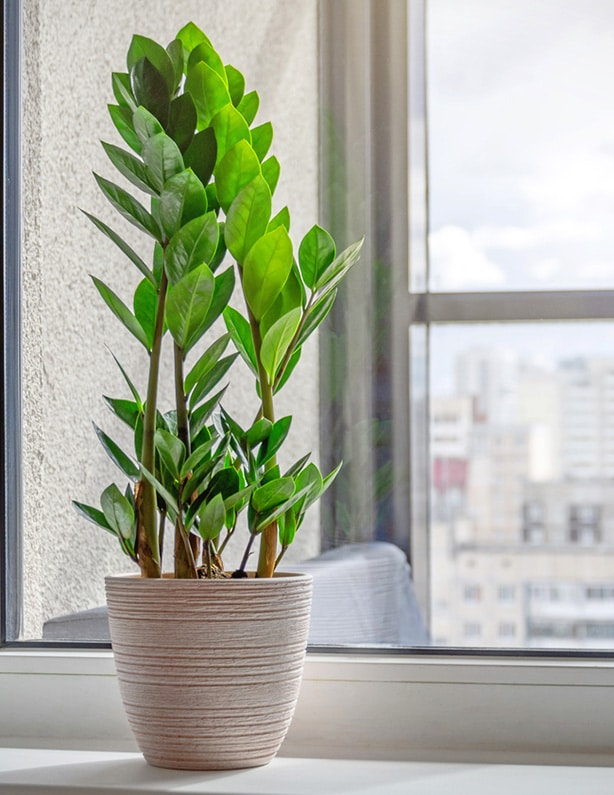 A plant kept indoor during the cold stays healthy