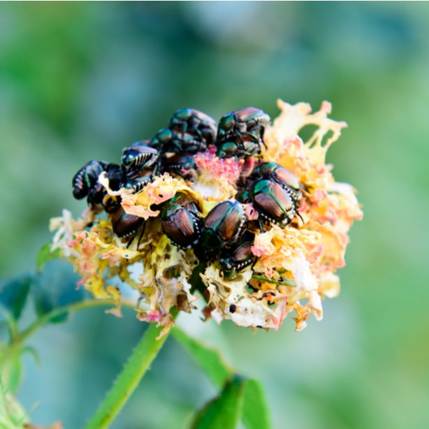 An example of a whole bunch of pests eating away at a flower.