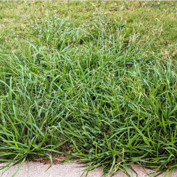 Crabgrass can invade lawns very quickly