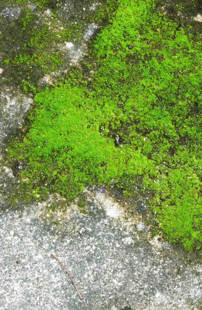 Moss growing on concrete can give a very dirty appearance to a home.
