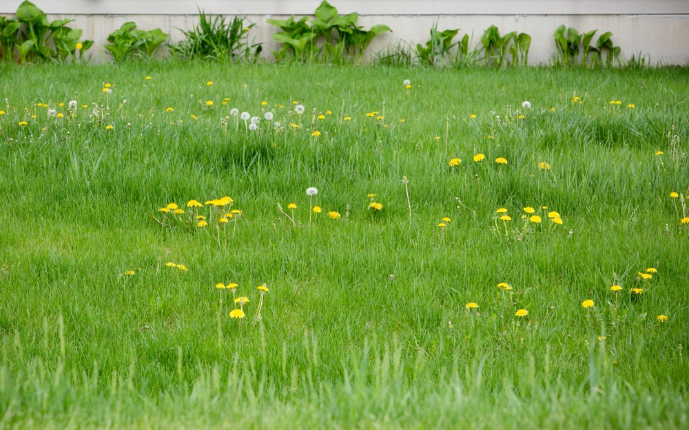 A lawn filled with dandelions