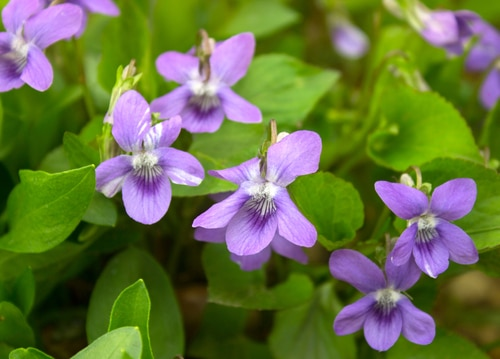 As an invasive species, wild violets often need to be removed.