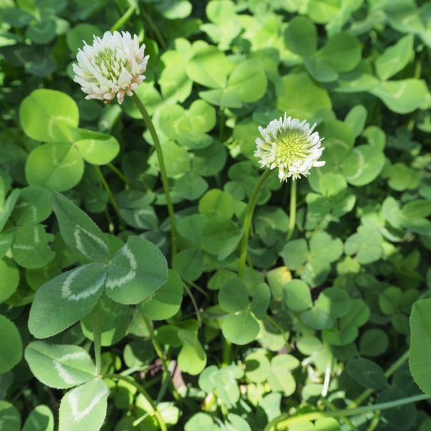 howto kill clover in garden beds