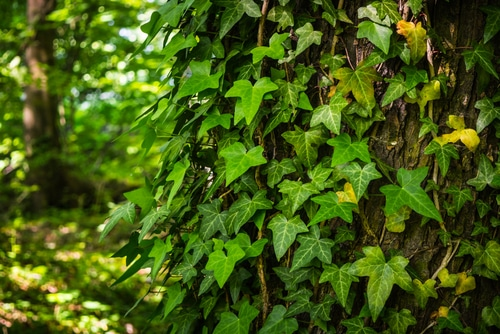 ivy plant growing as an invasive species on a tree