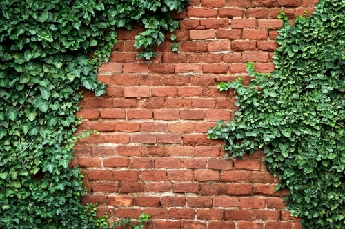 Get rid of ivy plants that may grow on walls
