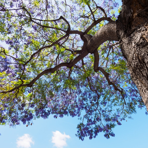 Looking up at a jacaranda tree canopy with healthy flowers from proper nutrients