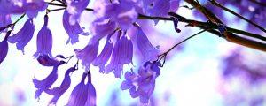 Jacaranda flowers growing healthy in its natural environment
