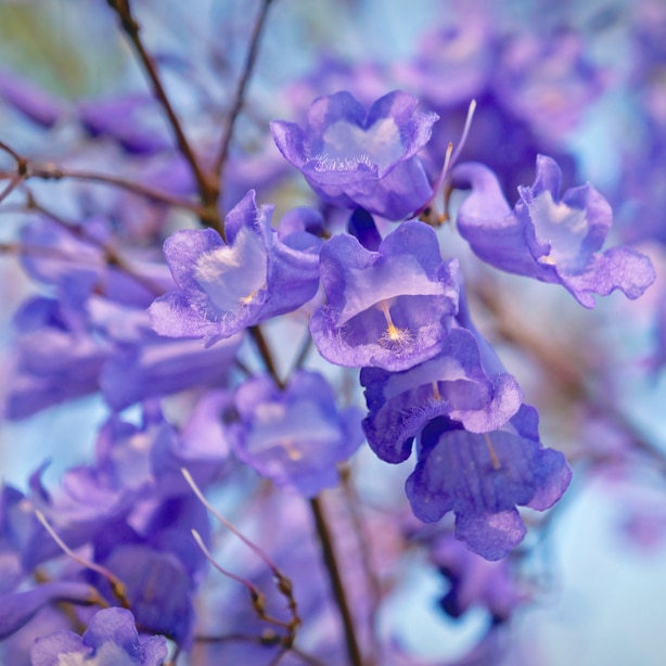 The jacaranda flower has a beautiful purple bloom