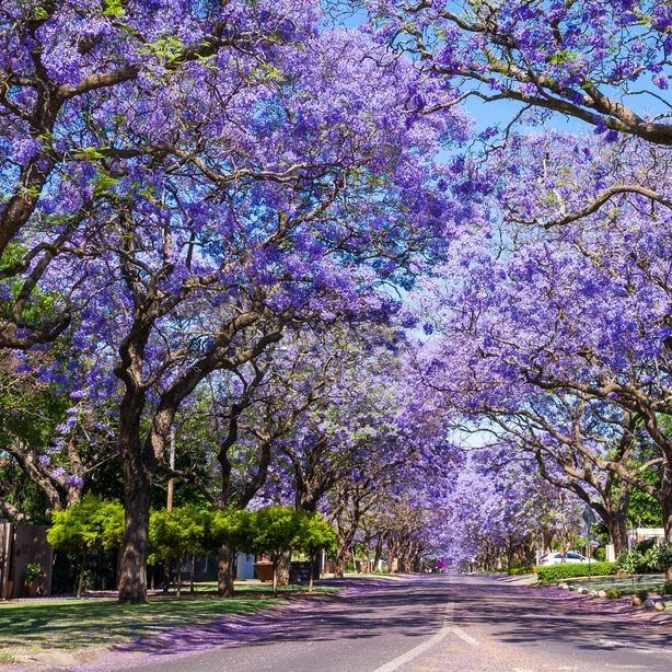 Jacaranda trees near road with perfect maintenance and pruning