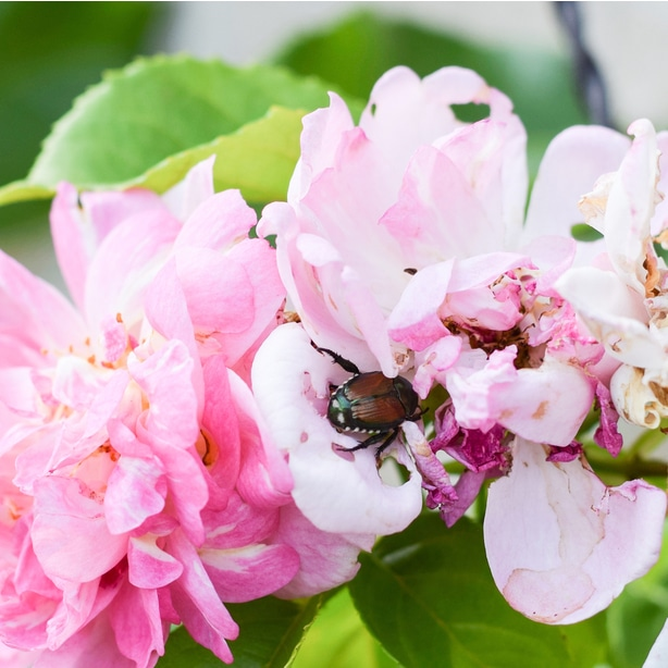 A japanese beetle sitting on a rose. They can easily infest it completely and destroy plants.