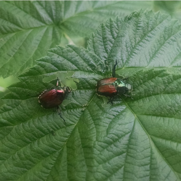 Japanese beetles can cause an infestation. Prevention is important for healthy plants