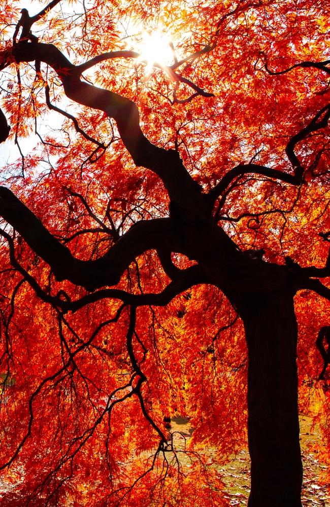 Japanese maple tree with orange leaves
