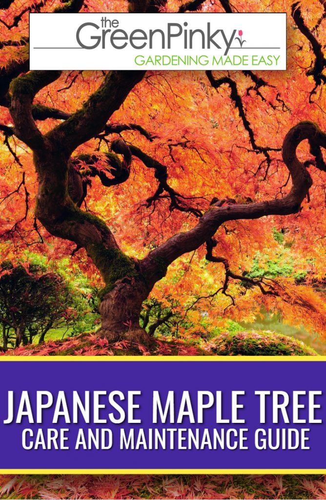 Japanese maple require proper maintenance through a guide to grow well
