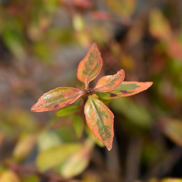 Kaleidoscope creates beautiful orange and green foliage and is semi-evergreen.