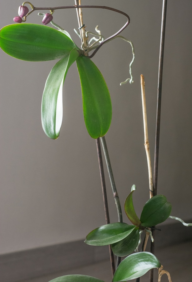 Keikies are small plants that shoot off from the mother phalaenopsis