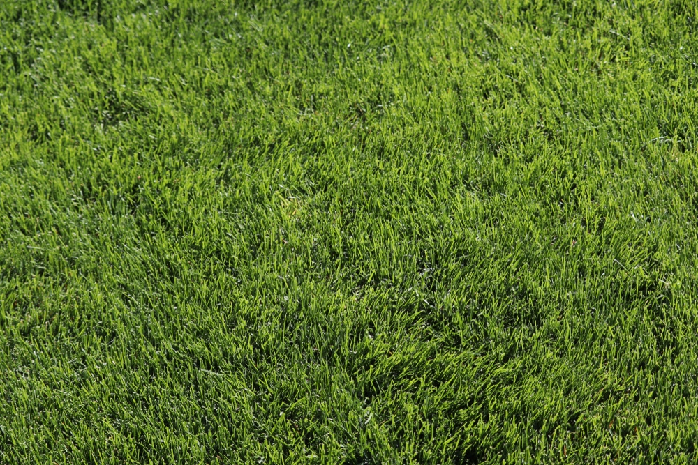A luscious lawn with kentucky bluegrass