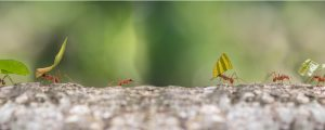 A macro picture of a couple of ants on a log carrying things on their backs