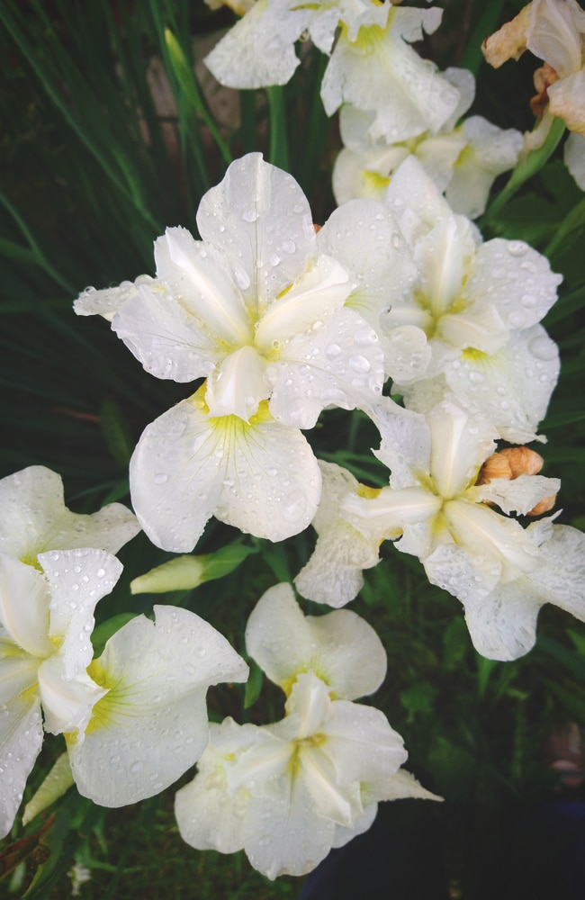 King of kings siberian iris with white petals and yellow cores.