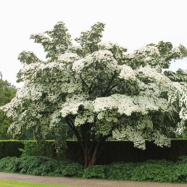 Kousa dogwood is one type of flowering dogwood