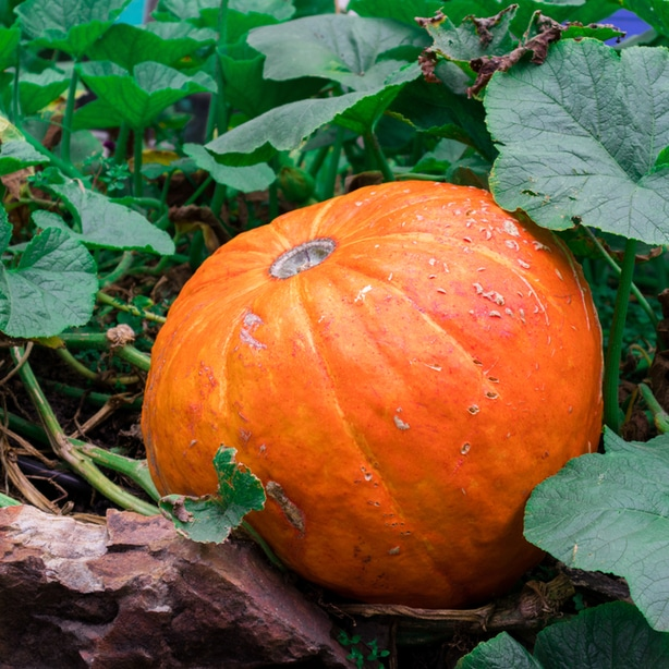 When grown properly, you will get large and beautiful orange harvests.