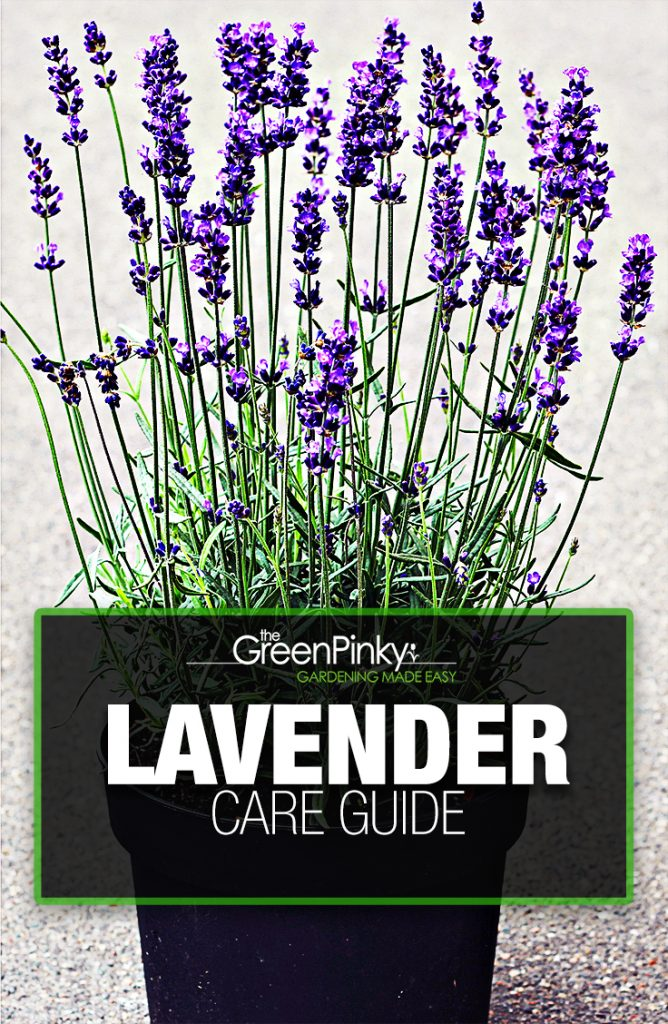 Lavender is a hardy plant, but can still use the practical tips of a care guide