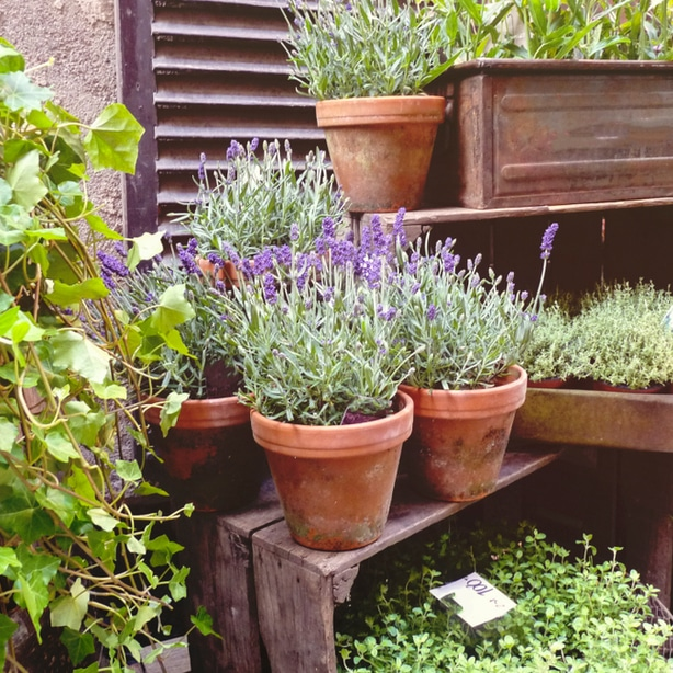 Lavendar is a perennial shrub that can keep away a whole host of pests.